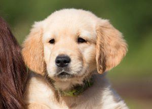 Welpe Golden Retriever für den Beitrag Hundezüchter werden