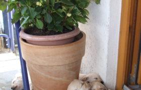 Hundezüchter werden - dann gibt es viele Welpen